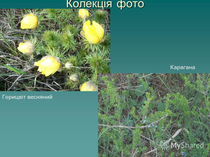 Колекція фото Горицвіт весняний Карагана