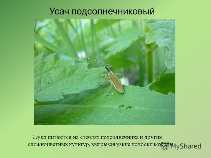 Усач подсолнечниковый Жуки питаются на стеблях подсолнечника и других сложноцветных культур, выгрызая узкие полоски кожицы.