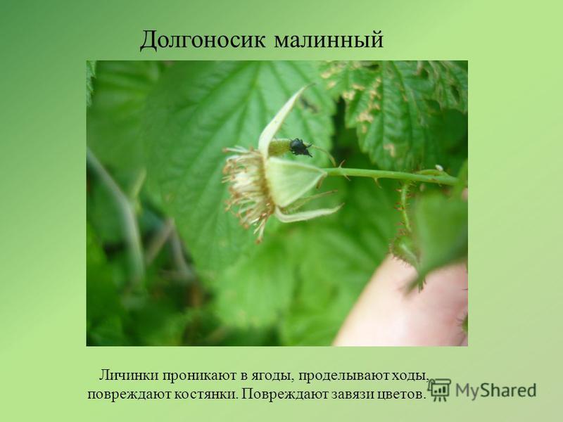 Долгоносик малинный Личинки проникают в ягоды, проделывают ходы, повреждают костянки. Повреждают завязи цветов.