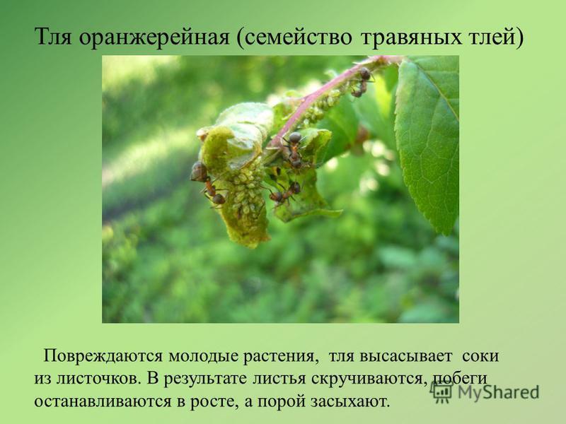 Тля оранжерейная (семейство травяных тлей) Повреждаются молодые растения, тля высасывает соки из листочков. В результате листья скручиваются, побеги останавливаются в росте, а порой засыхают.
