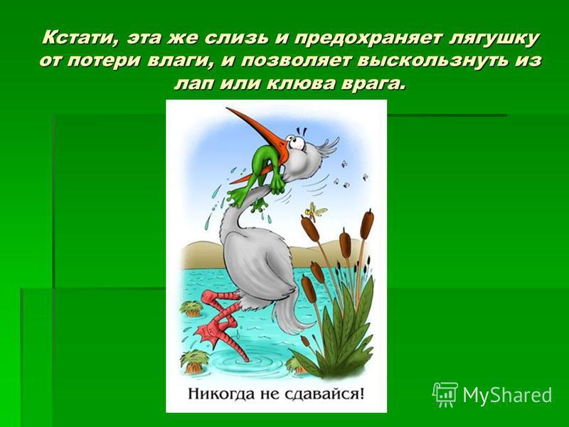 Кстати, эта же слизь и предохраняет лягушку от потери влаги, и позволяет выскользнуть из лап или клюва врага.