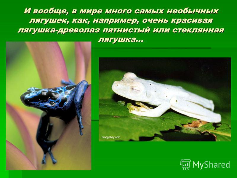 И вообще, в мире много самых необычных лягушек, как, например, очень красивая лягушка-древолаз пятнистый или стеклянная лягушка…