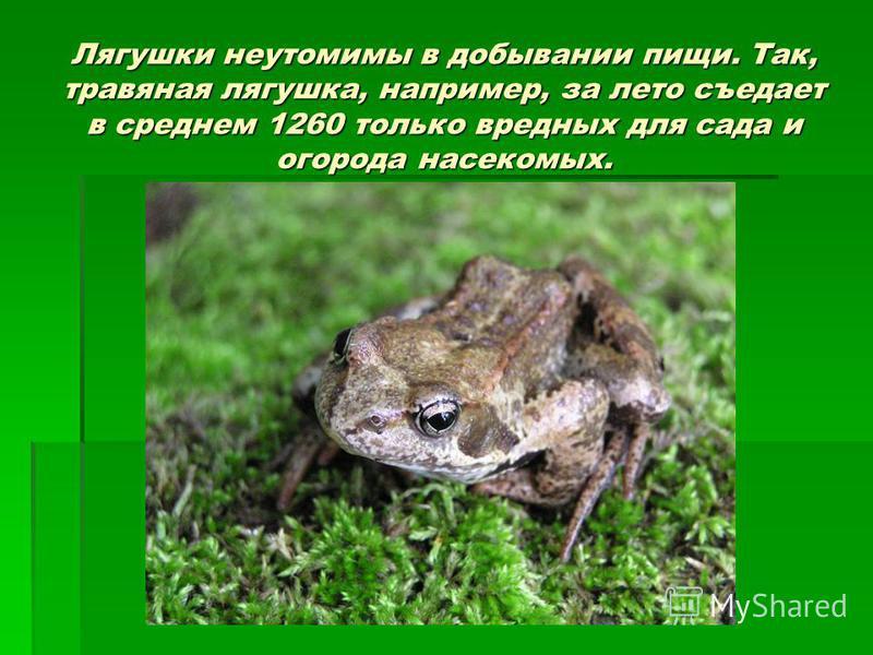 Лягушки неутомимы в добывании пищи. Так, травяная лягушка, например, за лето съедает в среднем 1260 только вредных для сада и огорода насекомых.