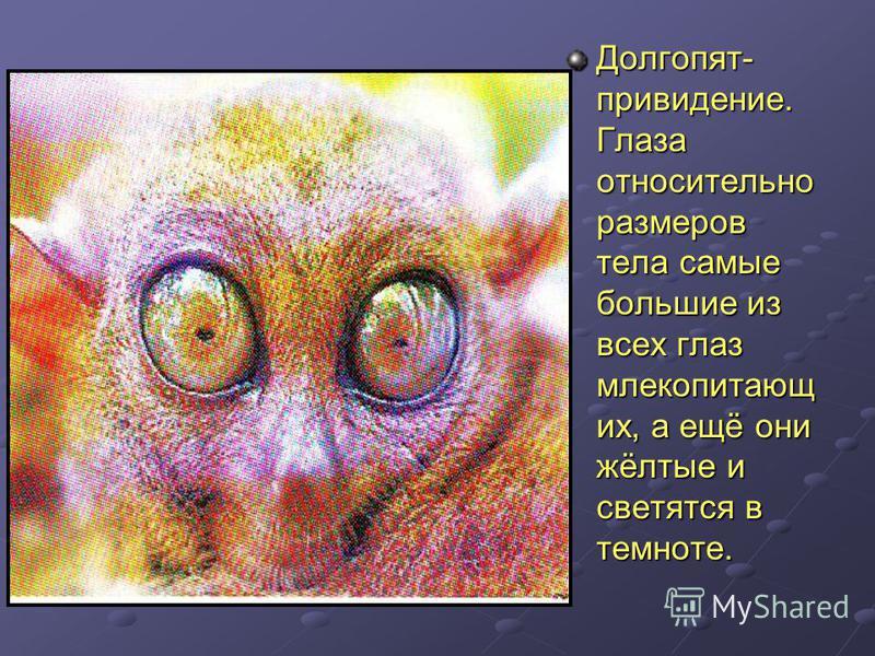 Долгопят- привидение. Глаза относительно размеров тела самые большие из всех глаз млекопитающих, а ещё они жёлтые и светятся в темноте.
