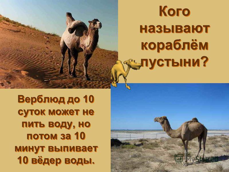 Кого называют кораблём пустыни? Верблюд до 10 суток может не пить воду, но потом за 10 минут выпивает 10 вёдер воды.