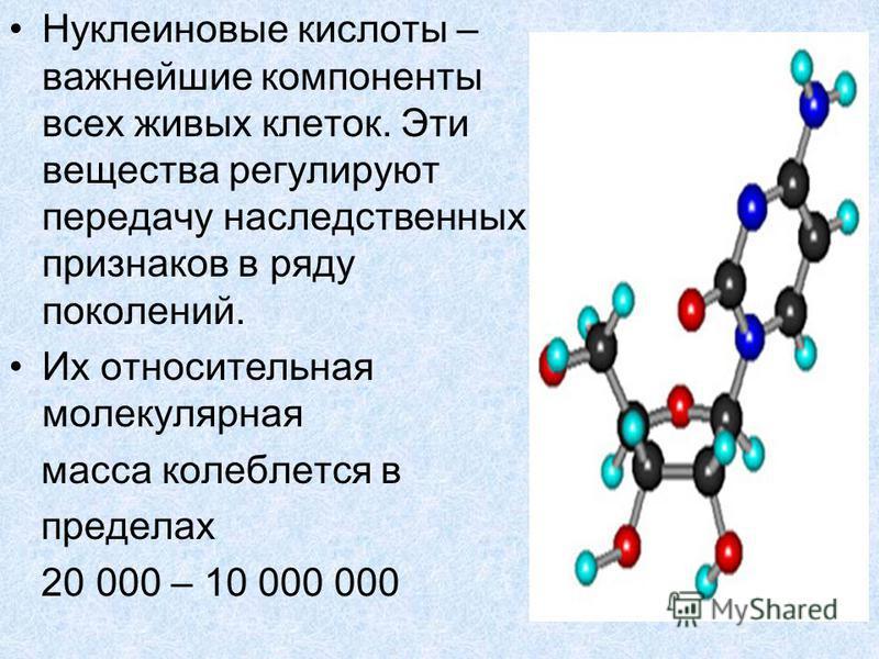 Нуклеиновые кислоты – важнейшие компоненты всех живых клеток. Эти вещества регулируют передачу наследственных признаков в ряду поколений. Их относительная молекулярная масса колеблется в пределах 20 000 – 10 000 000