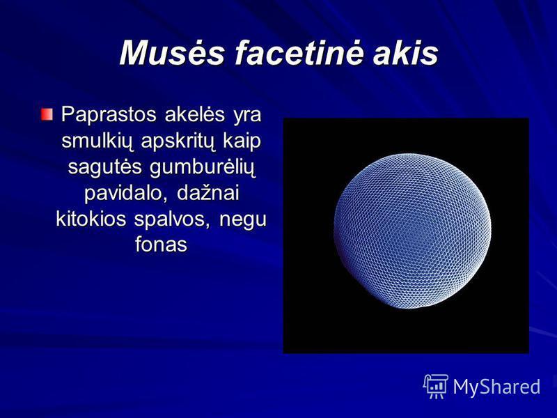 Musės facetinė akis Paprastos akelės yra smulkių apskritų kaip sagutės gumburėlių pavidalo, dažnai kitokios spalvos, negu fonas