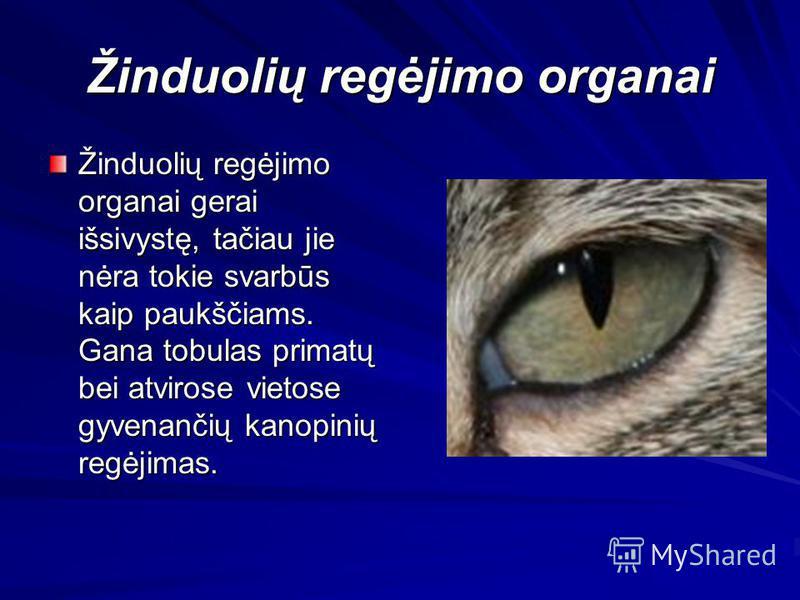 Žinduolių regėjimo organai Žinduolių regėjimo organai gerai išsivystę, tačiau jie nėra tokie svarbūs kaip paukščiams. Gana tobulas primatų bei atvirose vietose gyvenančių kanopinių regėjimas.