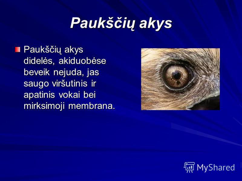 Paukščių akys Paukščių akys didelės, akiduobėse beveik nejuda, jas saugo viršutinis ir apatinis vokai bei mirksimoji membrana.