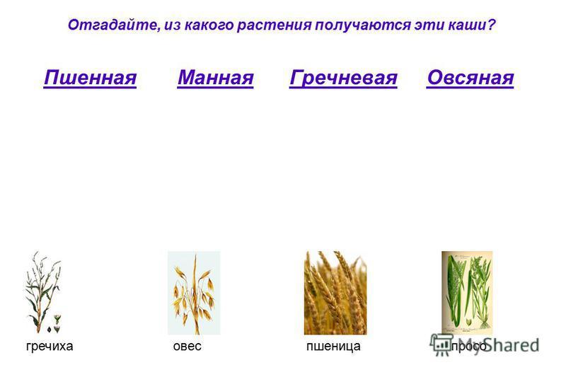 Отгадайте, из какого растения получаются эти каши? Пшенная Манная Гречневая Овсяная гречихаовеспшеницапросо