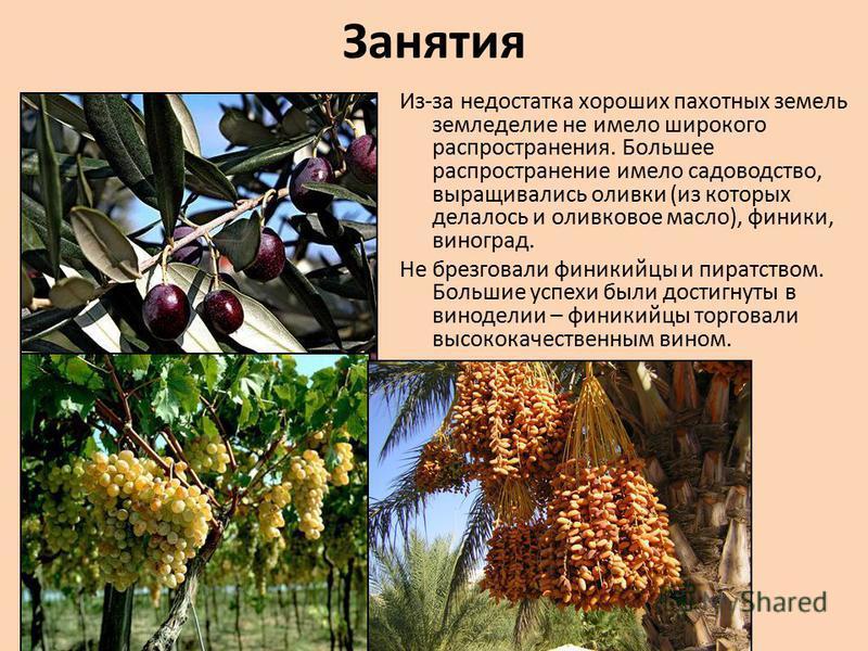 Занятия Из-за недостатка хороших пахотных земель земледелие не имело широкого распространения. Большее распространение имело садоводство, выращивались оливки (из которых делалось и оливковое масло), финики, виноград. Не брезговали финикийцы и пиратст