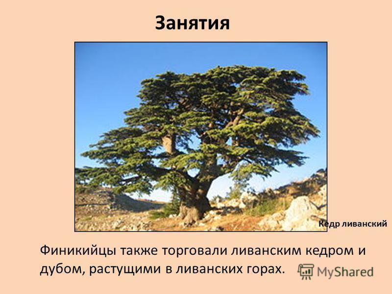 Занятия Финикийцы также торговали ливанским кедром и дубом, растущими в ливанских горах. Кедр ливанский