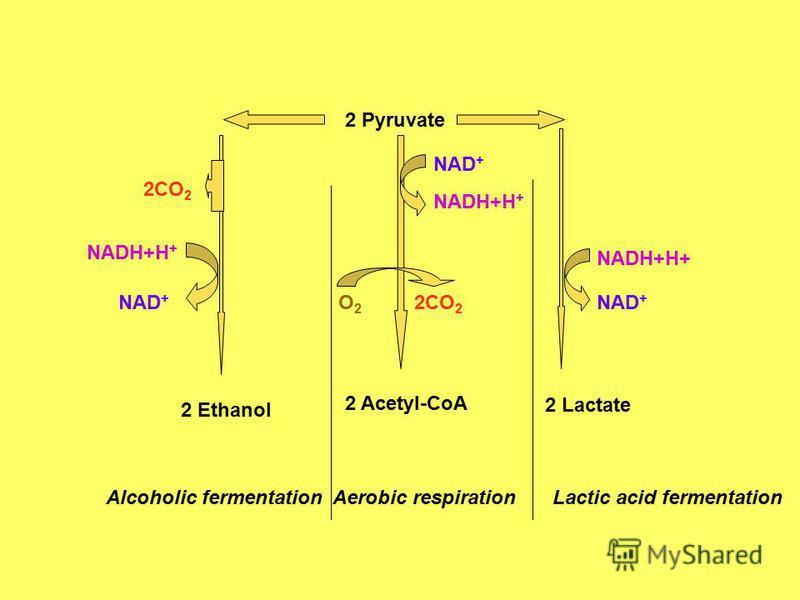 2 Pyruvate 2 Ethanol 2 Acetyl-CoA 2 Lactate 2CO 2 NADH+H + NAD + NADH+H + O2O2 2CO 2 NADH+H+ NAD + Alcoholic fermentationAerobic respirationLactic acid fermentation