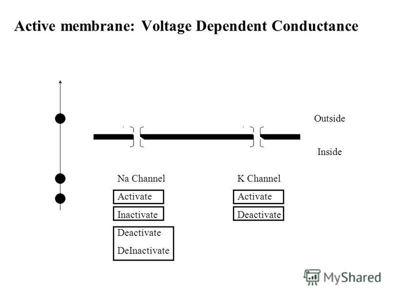 Active membrane: Voltage Dependent Conductance Na Channel Activate Inactivate Deactivate DeInactivate K Channel Activate Deactivate Outside Inside