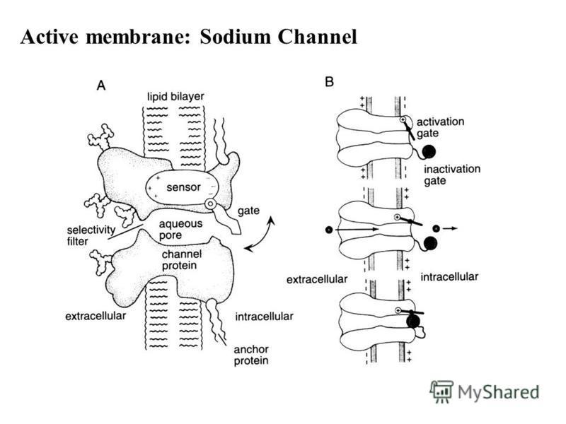 Active membrane: Sodium Channel