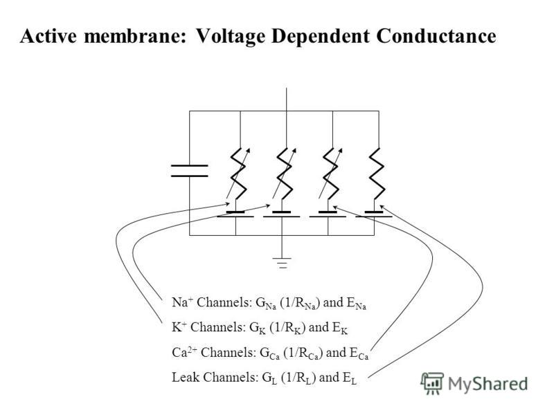 Active membrane: Voltage Dependent Conductance Na + Channels: G Na (1/R Na ) and E Na K + Channels: G K (1/R K ) and E K Ca 2+ Channels: G Ca (1/R Ca ) and E Ca Leak Channels: G L (1/R L ) and E L