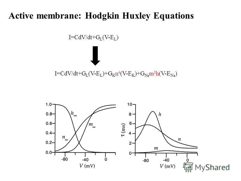 Active membrane: Hodgkin Huxley Equations I=CdV/dt+G L (V-E L )+G K n 4 (V-E K )+G Na m 3 h(V-E Na ) I=CdV/dt+G L (V-E L )