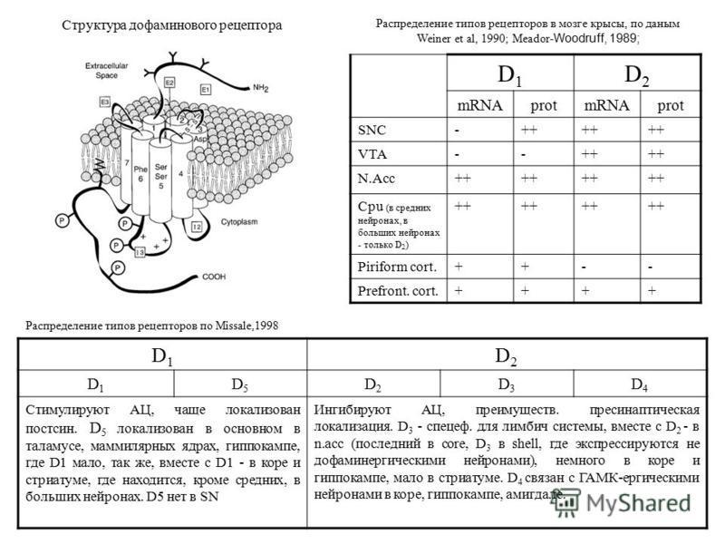 Структура дофаминового рецептора D1D1 D2D2 mRNAprotmRNAprot SNC-++ VTA--++ N.Acc++ Cpu (в средних нейронах, в больших нейронах - только D 2 ) ++ Piriform cort.++-- Prefront. cort.++++ Распределение типов рецепторов в мозге крысы, по данным Weiner et