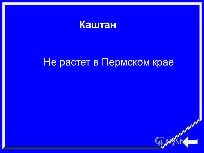 Каштан Не растет в Пермском крае