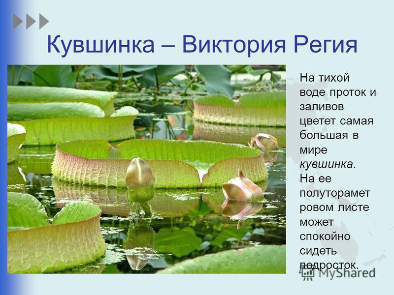На тихой воде проток и заливов цветет самая большая в мире кувшинка. На ее полутора метровом листе может спокойно сидеть подросток. Кувшинка – Виктория Регия