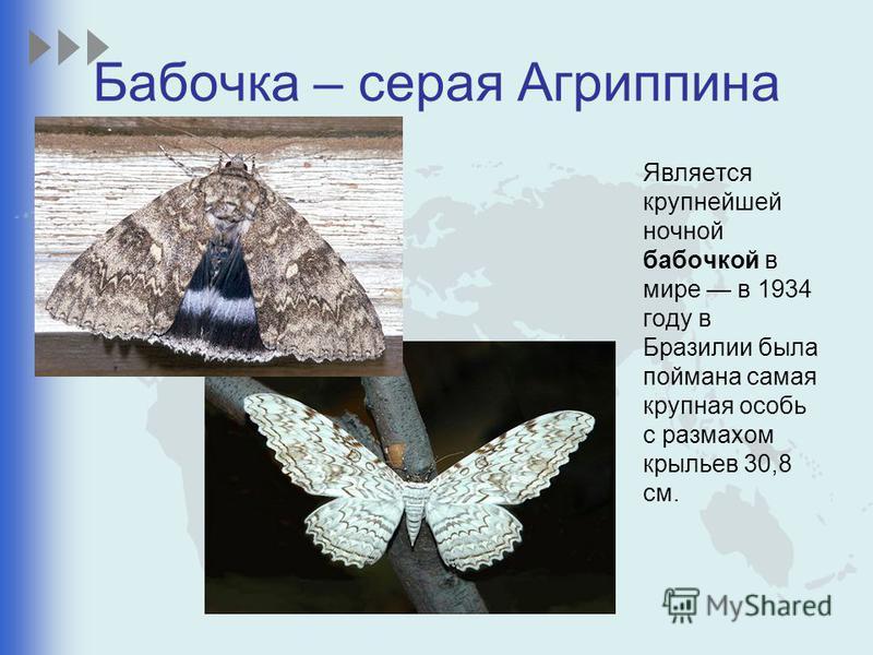 Бабочка – серая Агриппина Является крупнейшей ночной бабочкой в мире в 1934 году в Бразилии была поймана самая крупная особь с размахом крыльев 30,8 см.