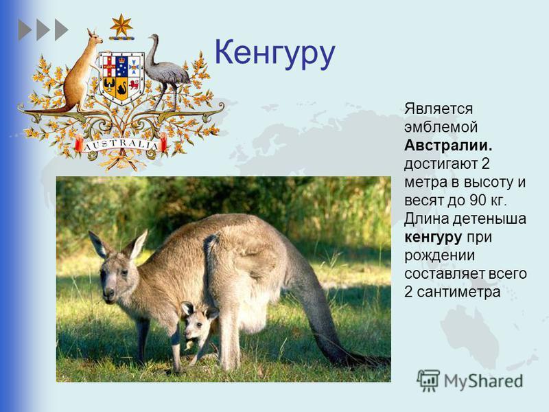 Кенгуру Является эмблемой Австралии. достигают 2 метра в высоту и весят до 90 кг. Длина детеныша кенгуру при рождении составляет всего 2 сантиметра