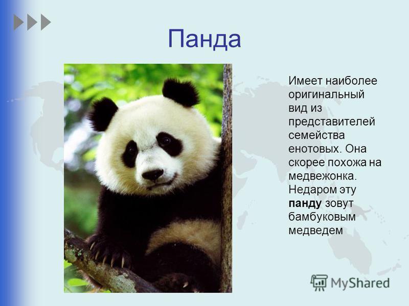 Панда Имеет наиболее оригинальный вид из представителей семейства енотовых. Она скорее похожа на медвежонка. Недаром эту панду зовут бамбуковым медведем