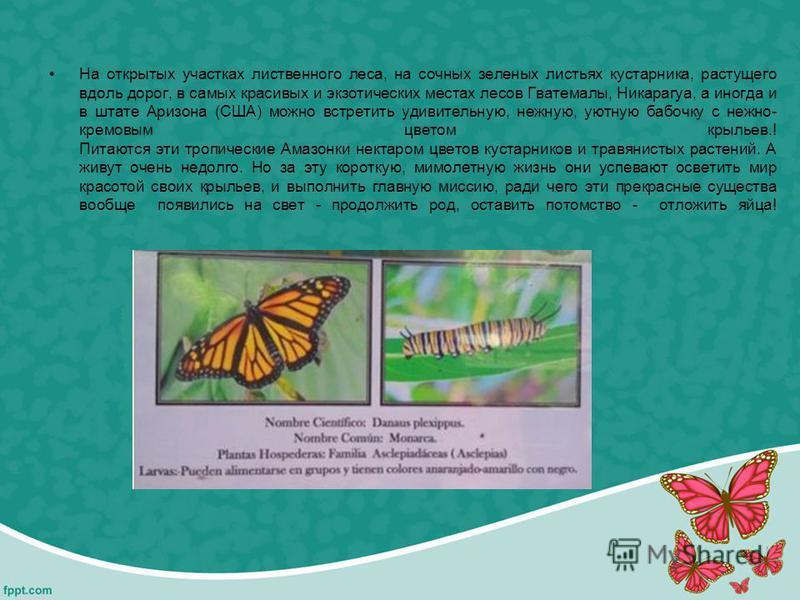 На открытых участках лиственного леса, на сочных зеленых листьях кустарника, растущего вдоль дорог, в самых красивых и экзотических местах лесов Гватемалы, Никарагуа, а иногда и в штате Аризона (США) можно встретить удивительную, нежную, уютную бабоч