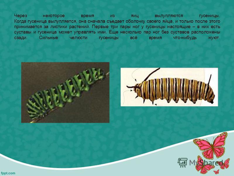 Через некоторое время из яиц вылупляются гусеницы. Когда гусеница вылупляется, она сначала съедает оболочку своего яйца, и только после этого принимается за листики растений. Первые три пары ног у гусеницы настоящие – в них есть суставы и гусеница мо