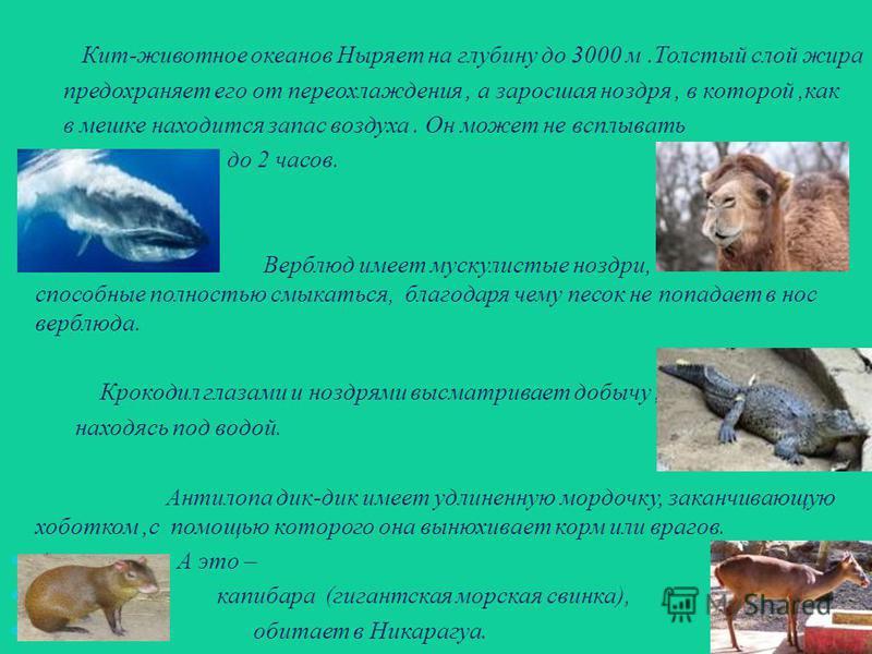 Кит-животное океанов Ныряет на глубину до 3000 м.Толстый слой жира предохраняет его от переохлаждения, а заросшая ноздря, в которой,как в мешке находится запас воздуха. Он может не всплывать до 2 часов. Верблюд имеет мускулистые ноздри, способные пол