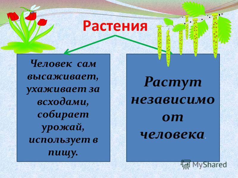 Растения Человек сам высаживает, ухаживает за всходами, собирает урожай, использует в пищу. Растут независимо от человека.