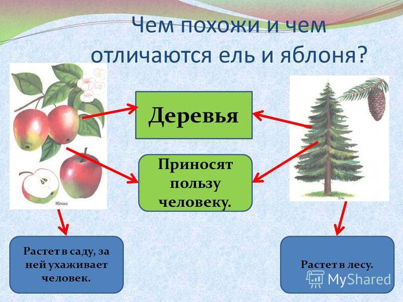 Чем похожи и чем отличаются ель и яблоня? Деревья Растет в саду, за ней ухаживает человек. Приносят пользу человеку. Растет в лесу.