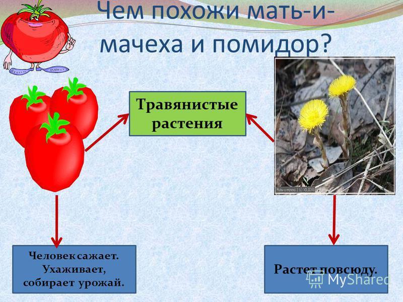 Чем похожи мать-и- мачеха и помидор? Травянистые растения Человек сажает. Ухаживает, собирает урожай. Растет повсюду.