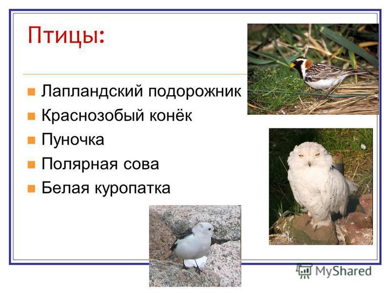 Птицы: Лапландский подорожник Краснозобый конёк Пуночка Полярная сова Белая куропатка