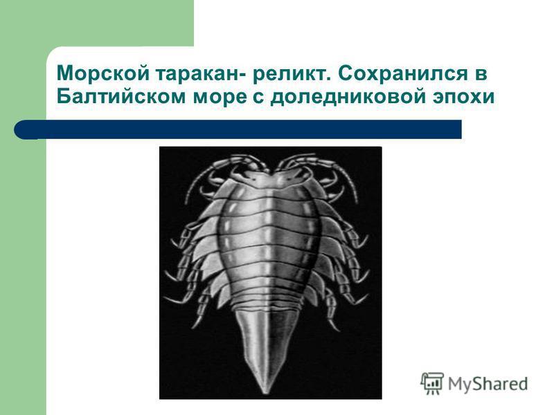 Морской таракан- реликт. Сохранился в Балтийском море с доледниковой эпохи