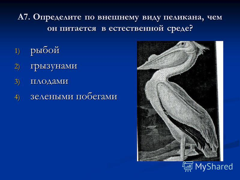 А7. Определите по внешнему виду пеликана, чем он питается в естественной среде? 1) рыбой 2) грызунами 3) плодами 4) зелеными побегами