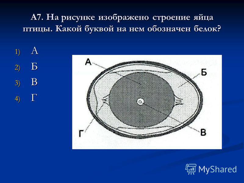 А7. На рисунке изображено строение яйца птицы. Какой буквой на нем обозначен белок? 1) А 2) Б 3) В 4) Г