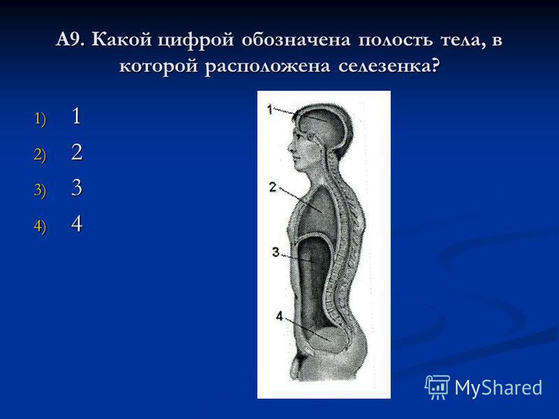 А9. Какой цифрой обозначена полость тела, в которой расположена селезенка? 1) 1 2) 2 3) 3 4) 4