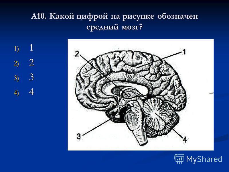 А10. Какой цифрой на рисунке обозначен средний мозг? 1) 1 2) 2 3) 3 4) 4