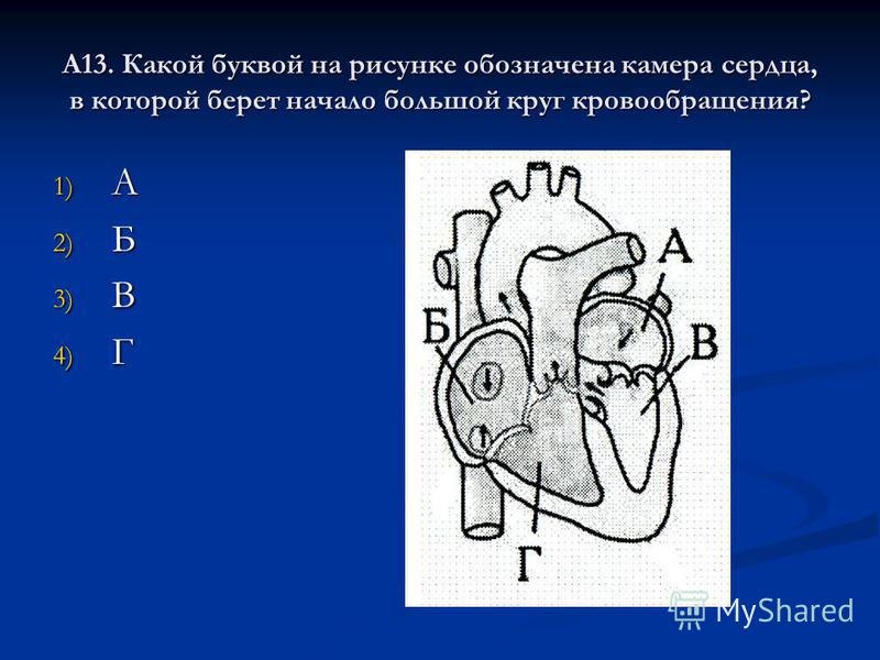 А13. Какой буквой на рисунке обозначена камера сердца, в которой берет начало большой круг кровообращения? 1) А 2) Б 3) В 4) Г