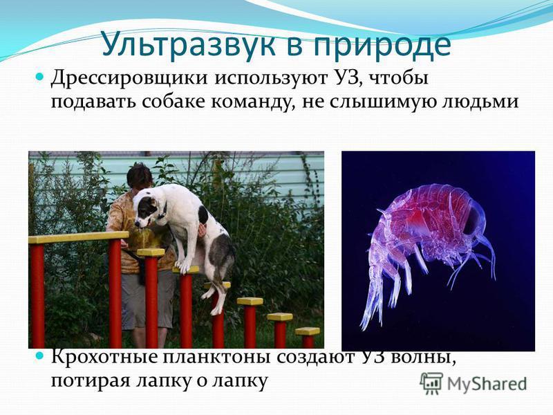 Ультразвук в природе Дрессировщики используют УЗ, чтобы подавать собаке команду, не слышимую людьми Крохотные планктоны создают УЗ волны, потирая лапку о лапку