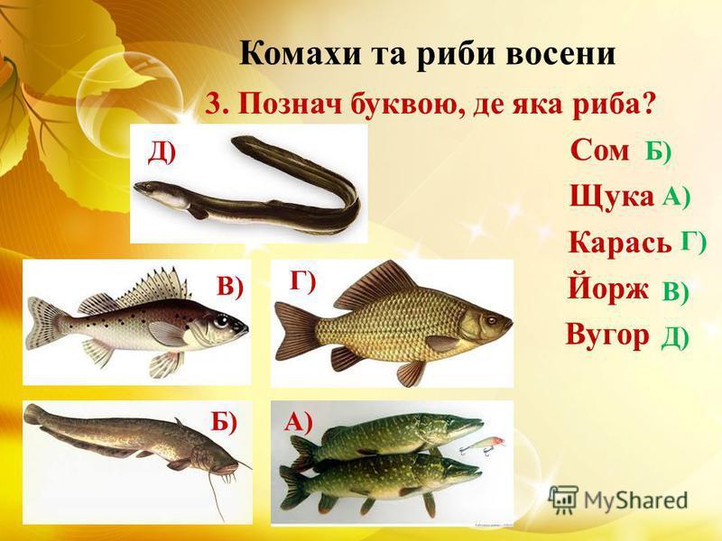 Комахи та риби восени 3. Познач буквою, де яка риба? Сом Щука Карась Йорж Вугор Б)А) Г) В) Д) Б) А) Г) В)