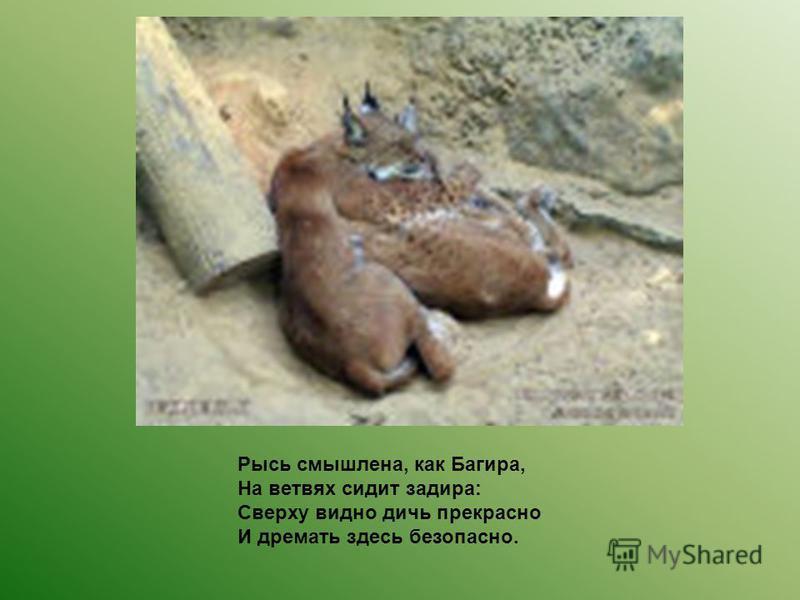 Рысь смышлена, как Багира, На ветвях сидит задира: Сверху видно дичь прекрасно И дремать здесь безопасно.