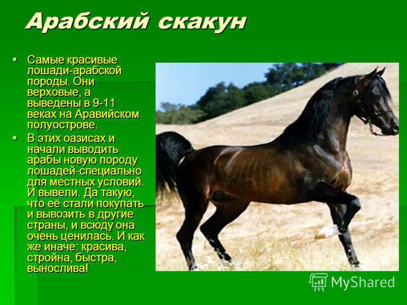 Арабский скакун Самые красивые лошади-арабской породы. Они верховые, а выведены в 9-11 веках на Аравийском полуострове. Самые красивые лошади-арабской породы. Они верховые, а выведены в 9-11 веках на Аравийском полуострове. В этих оазисах и начали вы