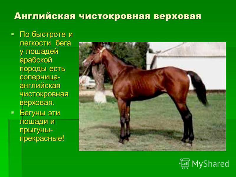 Английская чистокровная верховая По быстроте и легкости бега у лошадей арабской породы есть соперница- английская чистокровная верховая. По быстроте и легкости бега у лошадей арабской породы есть соперница- английская чистокровная верховая. Бегуны эт