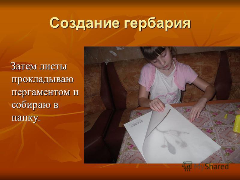 Создание гербария Затем листы прокладываю пергаментом и собираю в папку. Затем листы прокладываю пергаментом и собираю в папку.