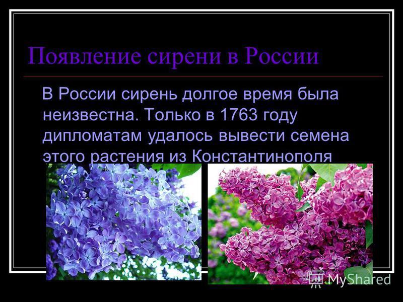 Появление сирени в России В России сирень долгое время была неизвестна. Только в 1763 году дипломатам удалось вывести семена этого растения из Константинополя