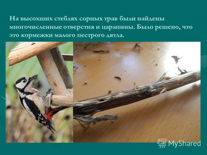На высохших стеблях сорных трав были найдены многочисленные отверстия и царапины. Было решено, что это кормежки малого пестрого дятла.