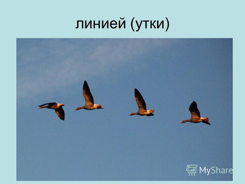 линией (утки)
