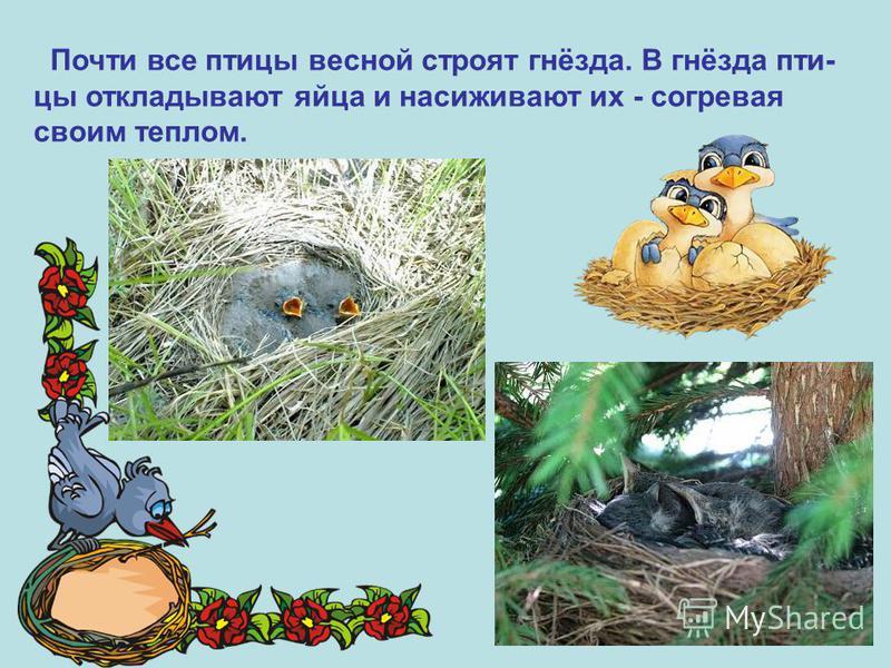 Почти все птицы весной строят гнёзда. В гнёзда пти- цы откладывают яйца и насиживают их - согревая своим теплом.